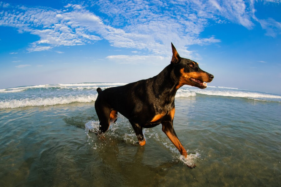 Dobermann am Strand