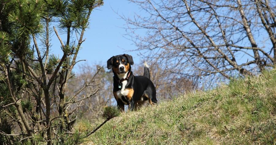Schweizer Hunderasse Entlebucher Sennenhund