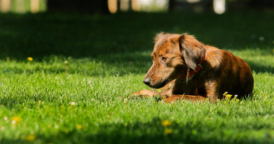 Gelangweilter Hund im Garten