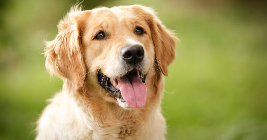 Intelligente Hunderasse Golden Retriever