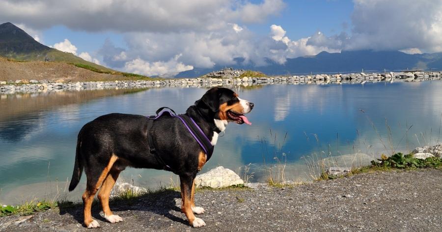 Schweizer Hunderasse Große Schweizer Sennenhund