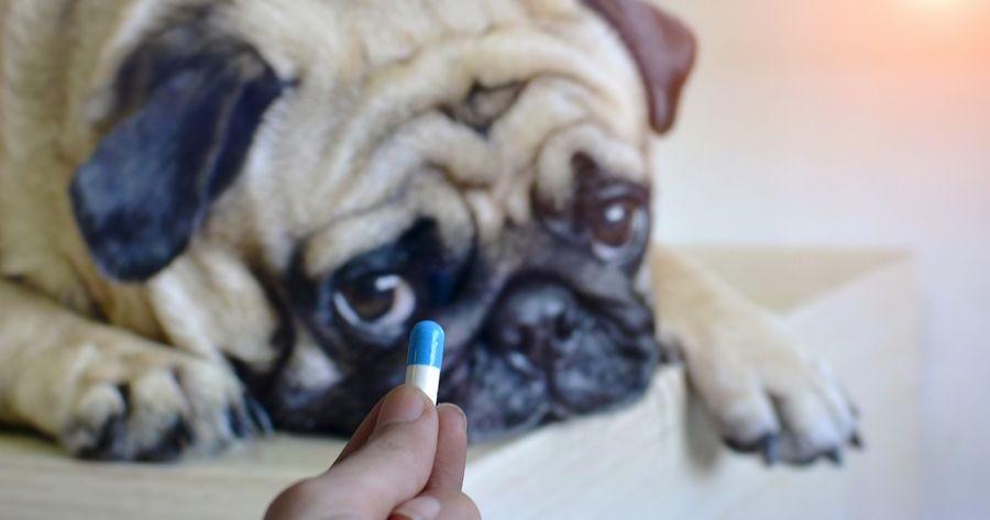 Hund bekommt Tablette