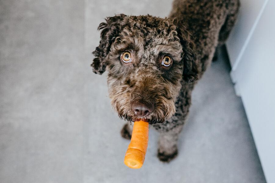 Hund isst Karotte
