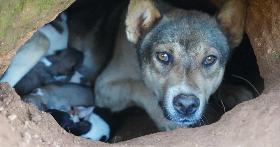 Hund baut Höhle für Welpen