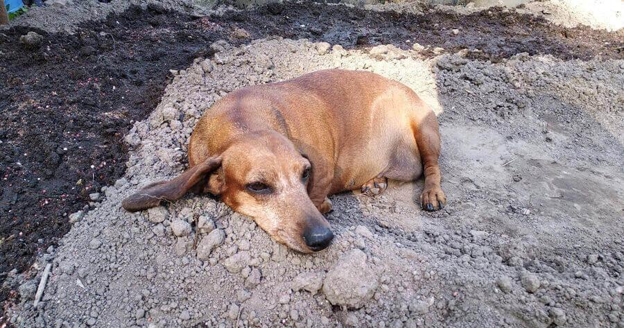 Hund bei Hitze