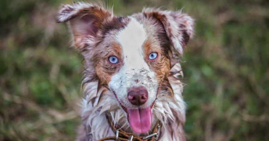 Hund mit blauen Augen