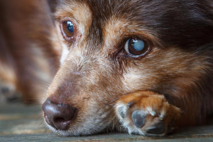 Hund mit grauem Star