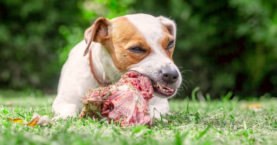 Hund isst rohes Fleisch