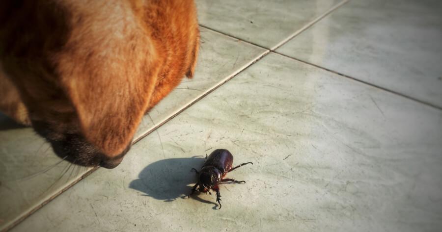Hund sieht Käfer an
