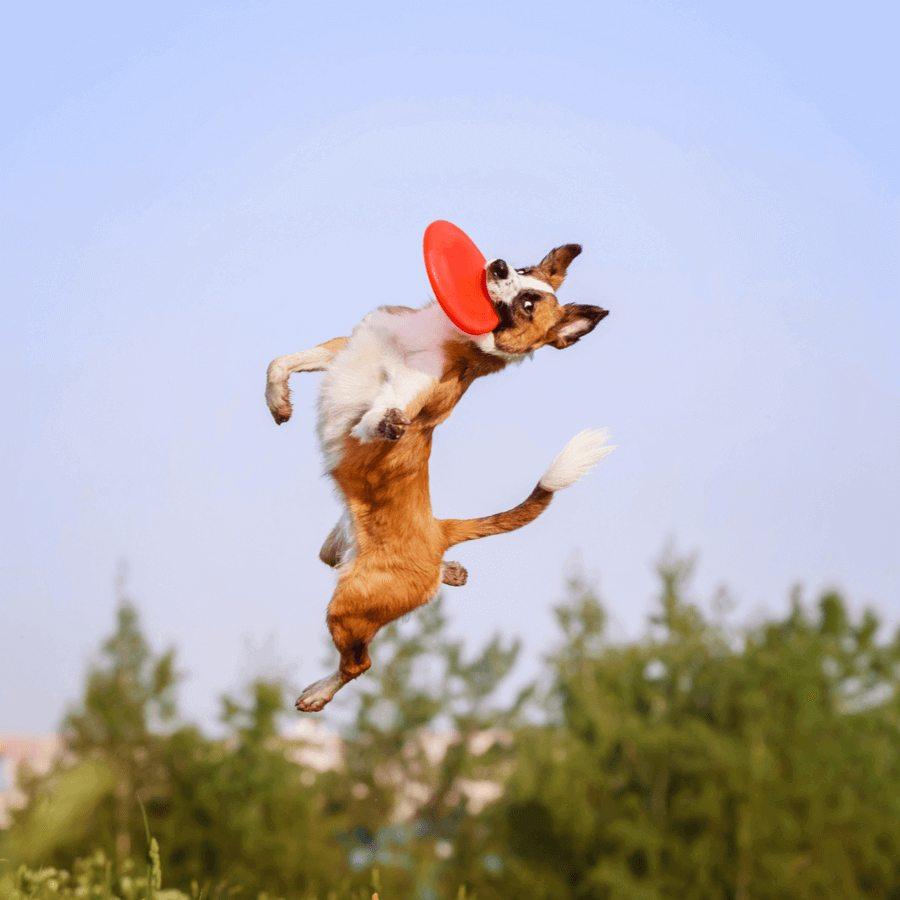 Hunde Frisbee