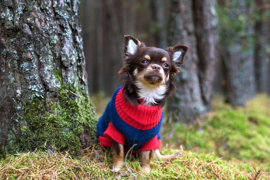 chihuahua abrigo cistitis perros
