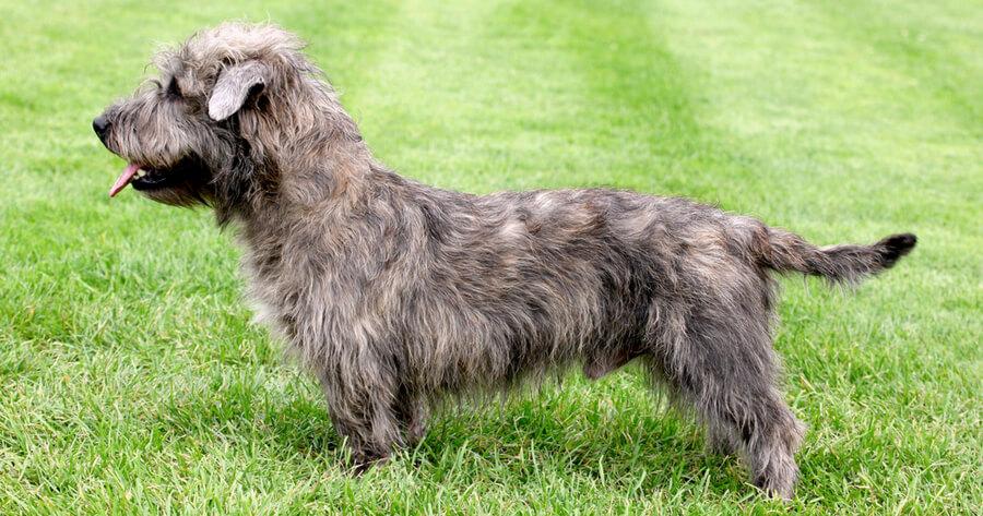 Irische Hunderasse Irish Glen of Imaal Terrier