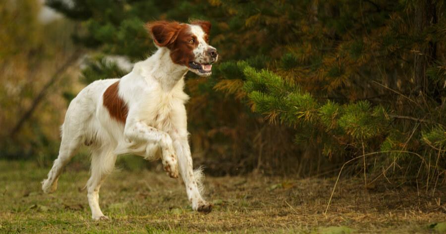 Irische Hunderassen Irish Red and White Setter