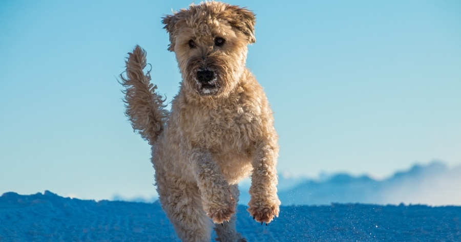 Intelligente Hunderasse Irish Soft Coated Wheaten Terrier