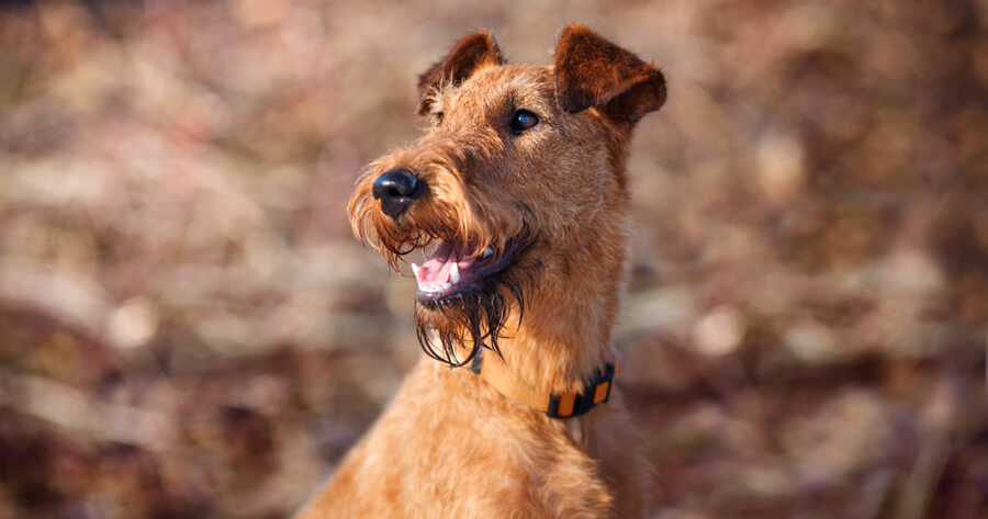 Irische Hunderasse Irish Terrier