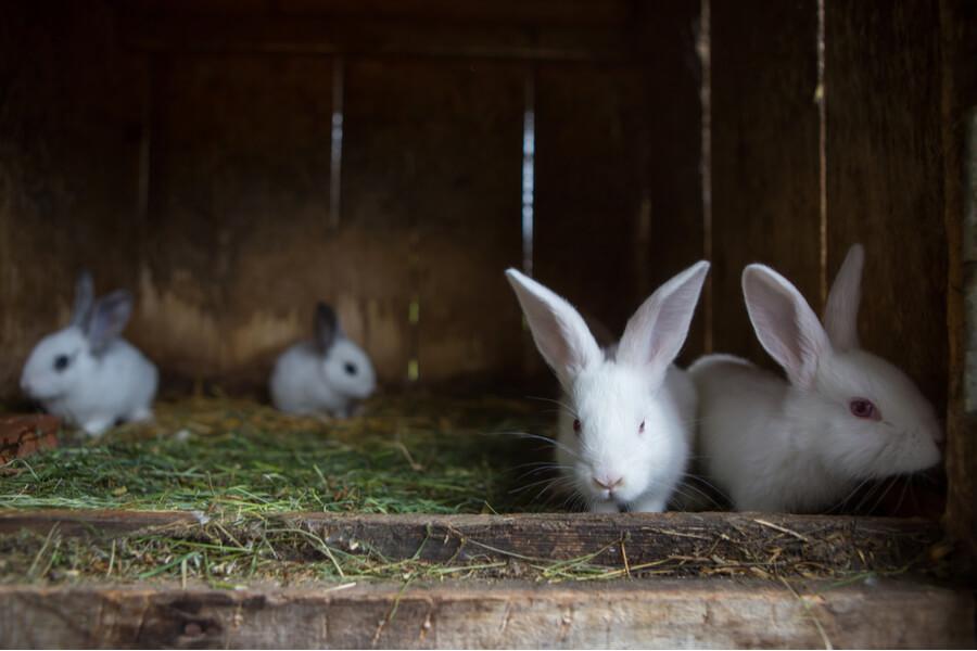 Vier weiße Kaninchen