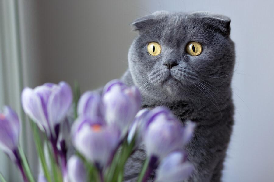 Katze mit Krokus geschockt