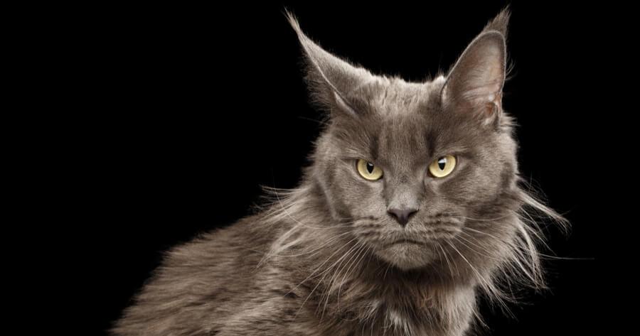 Katze Ohren in unterschiedliche Richtungen