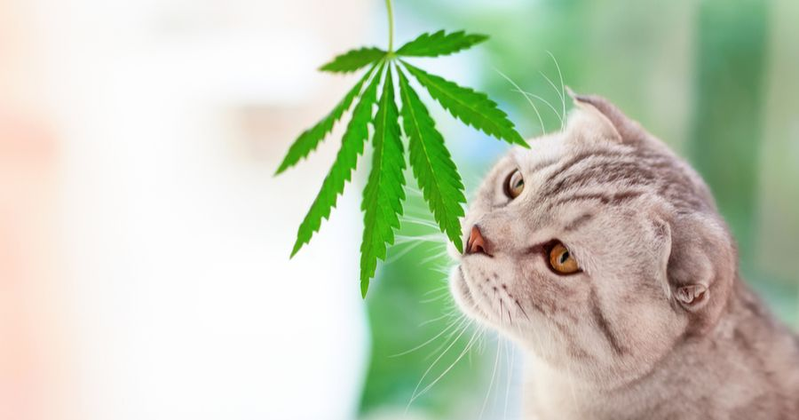 Katze schnüffelt an marihuana Blatt