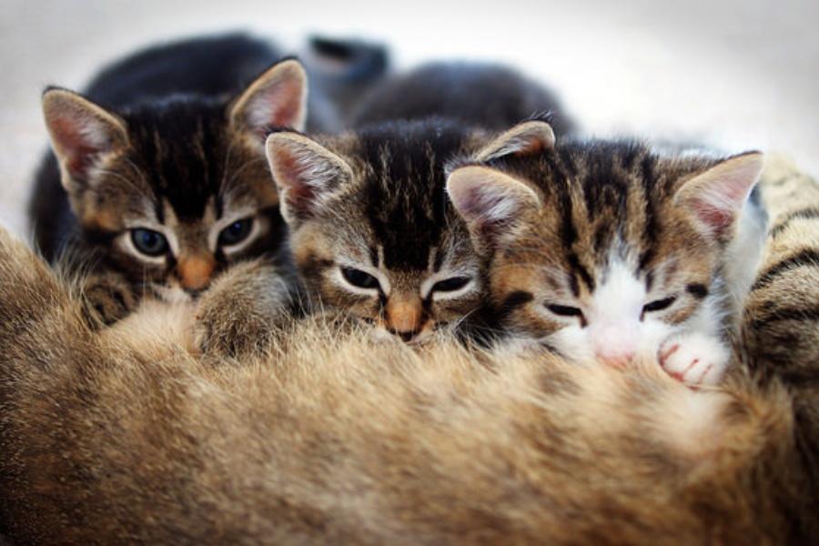 Katzenbabys schnurren beim Säugen