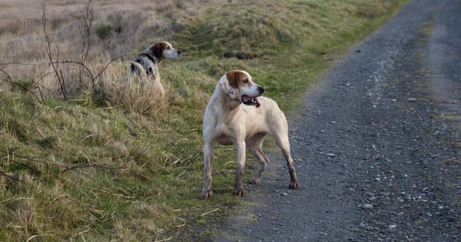 Irische Hunderasse Kerry Beagle