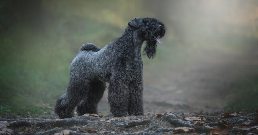 Irische Hunderasse Kerry Blue Terrier