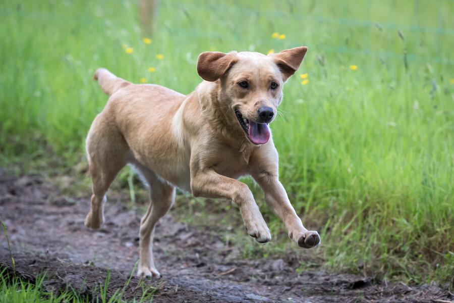 Sportlicher Labrador Retriever