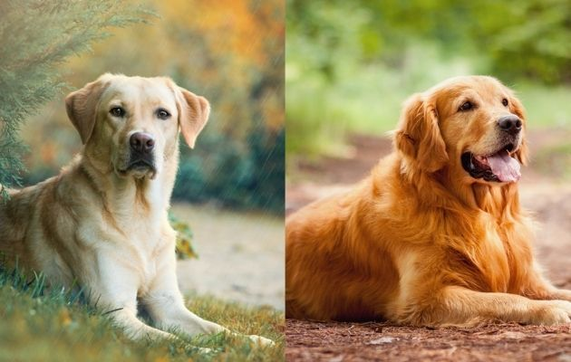 Labrador Retriever e Golden Retriever