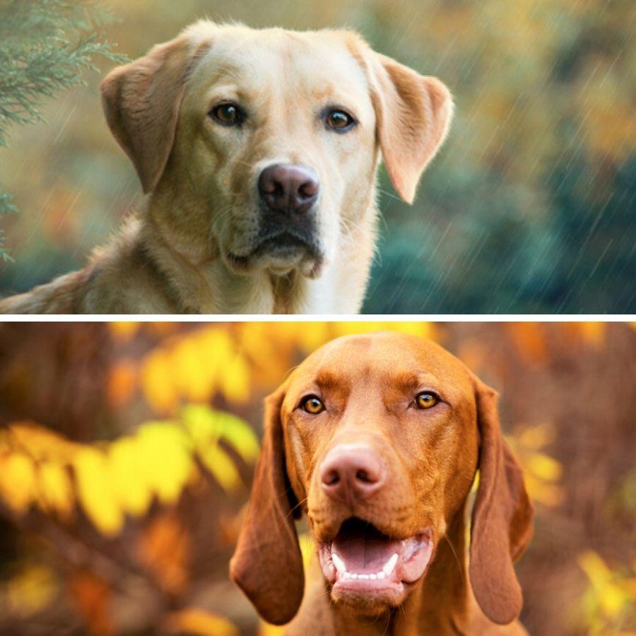 Vizsla und Labrador