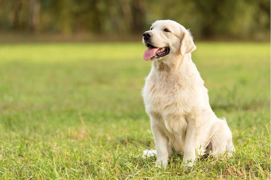 Ein Labrador