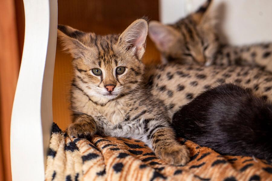 Safari Katze