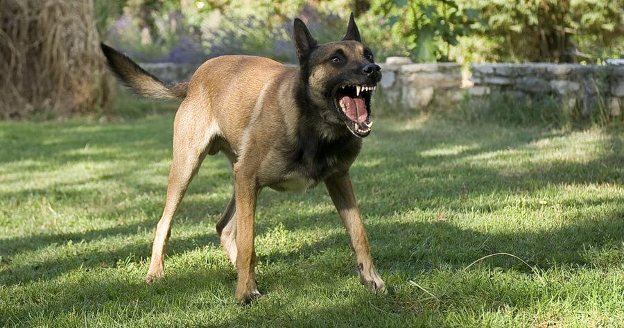 Schäferhund bellt