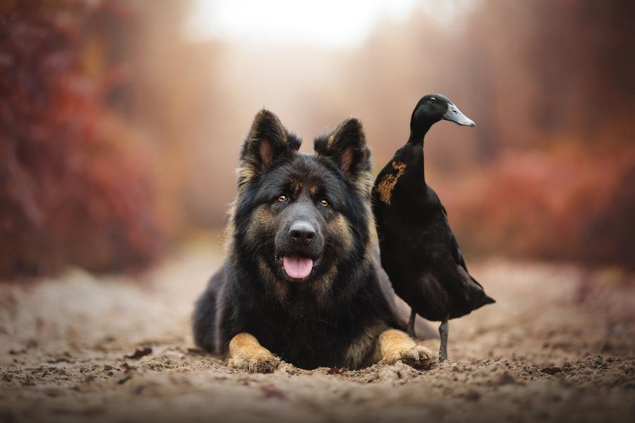 Schäferhund und Gans