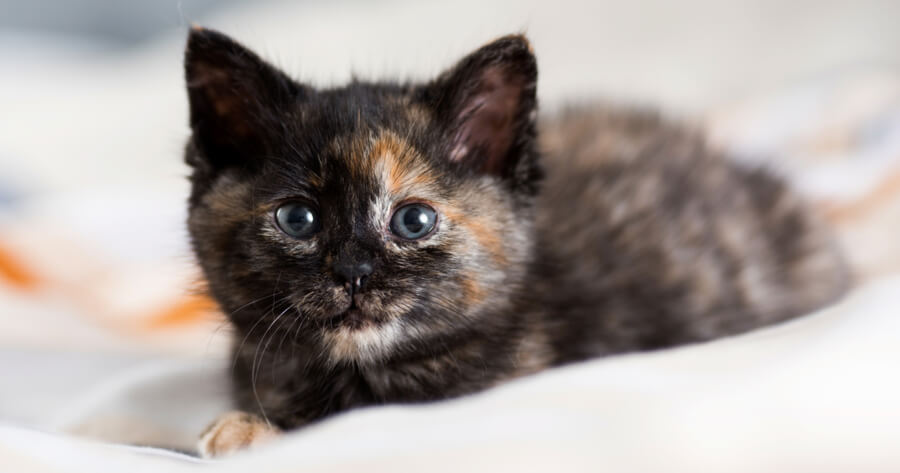 Schildpatt Kätzchen
