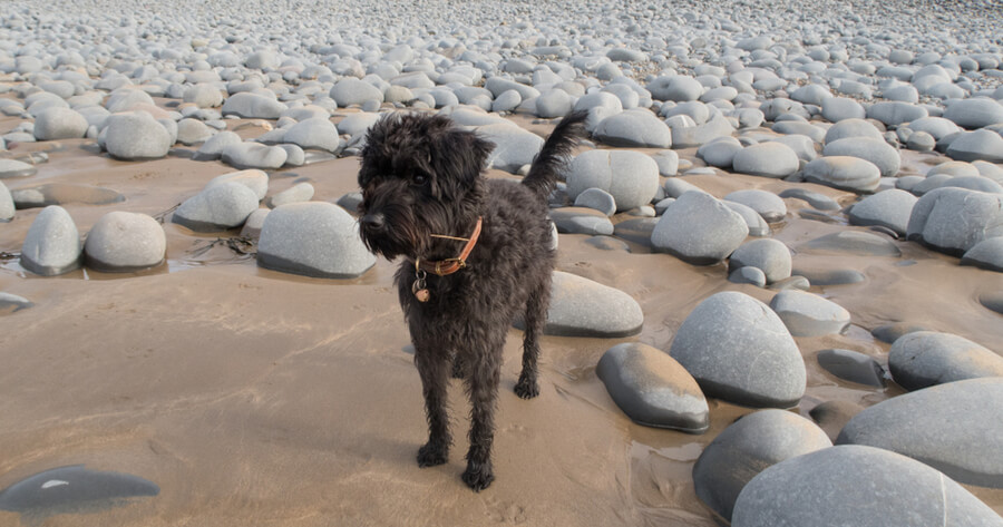 Schnoodle am Strand