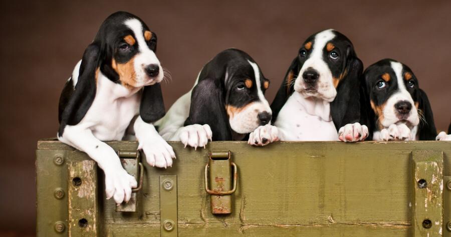 Schweizer Hunderasse Schweizer Niederlaufhund