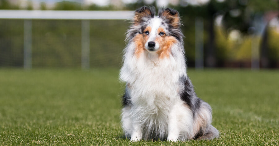 Intelligente Hunderasse Sheltie