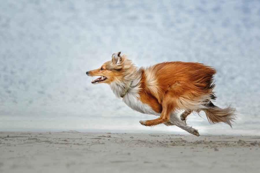 Shetland Sheepdog läuft