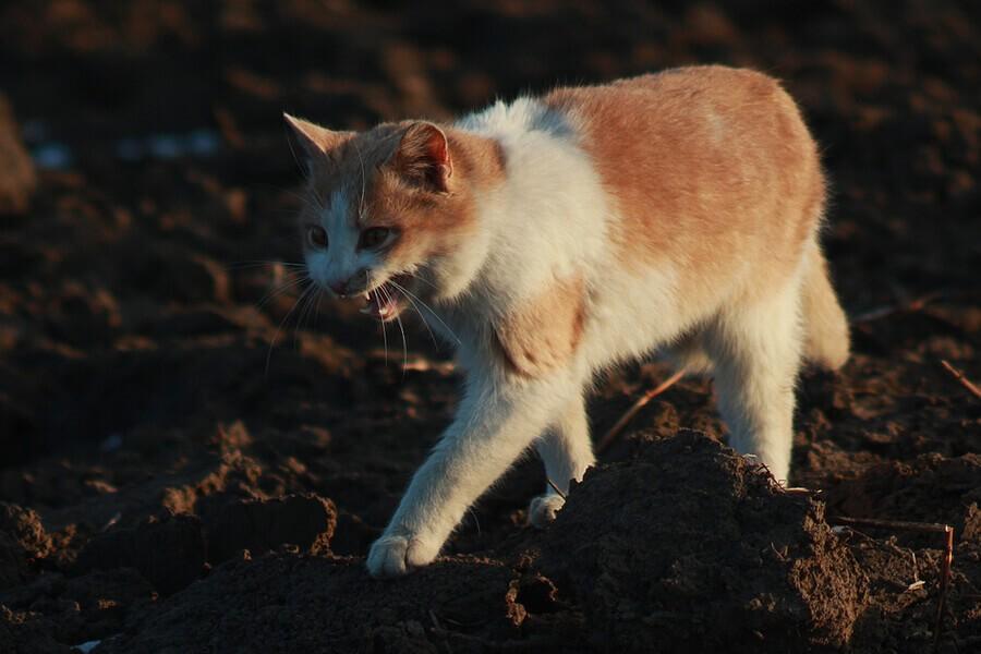 Katze mit Tollwut befallen