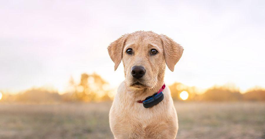 Hund mit GPS-Tracker