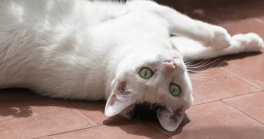 Weiße Katze in der Sonne