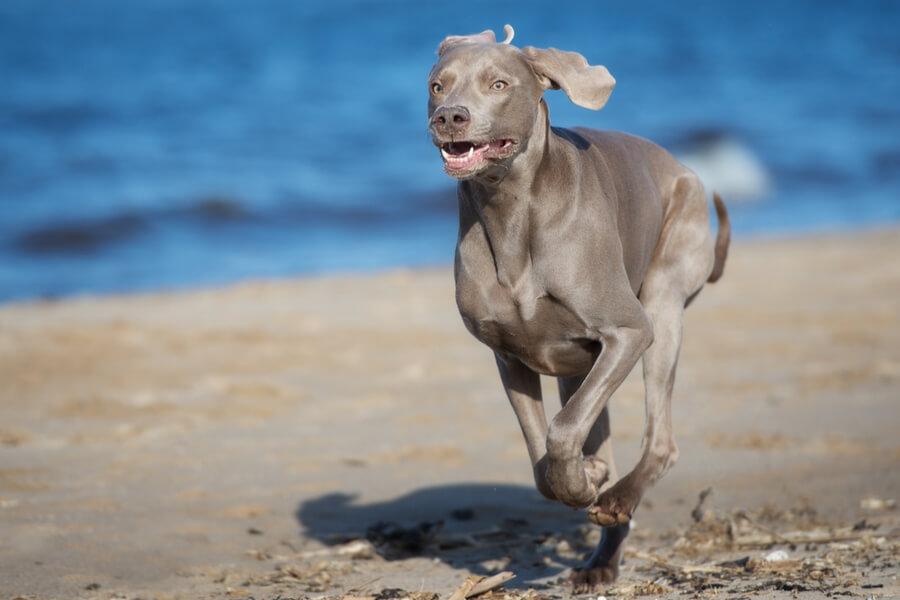 Weimaraner rennt am Strand