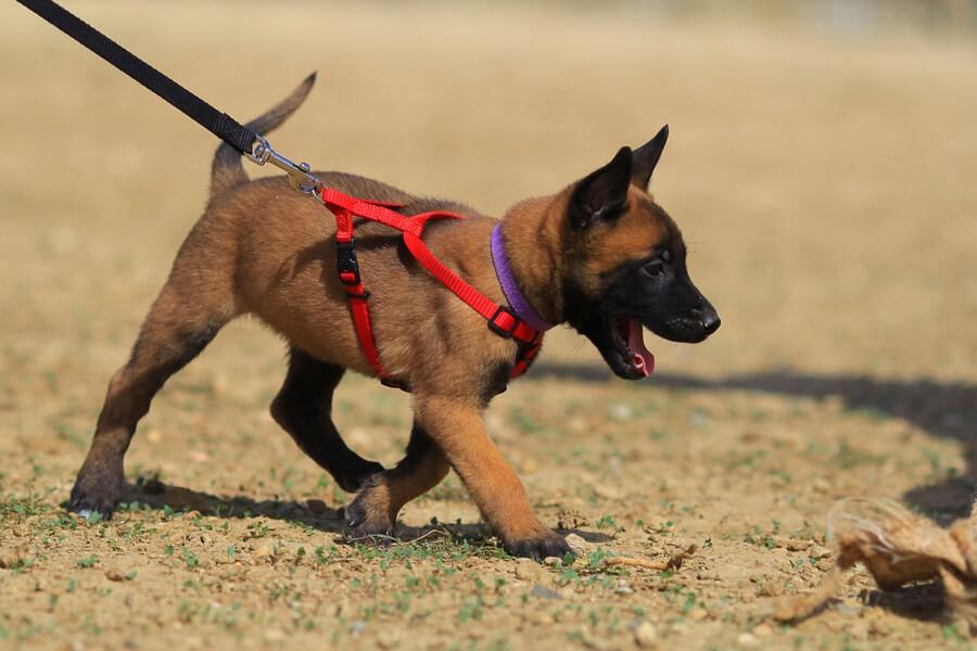 Belgischer Schäferhund Welpe mit Geschirr