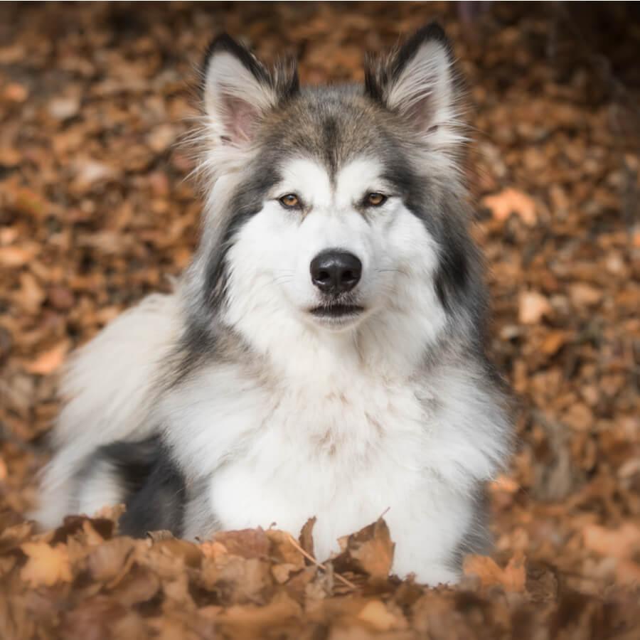 Wolfshybrid