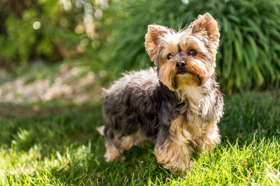Ein Yorkshire Terrier