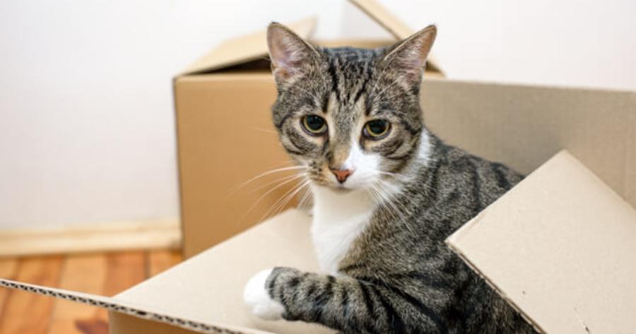 Katze schaut aus Karton