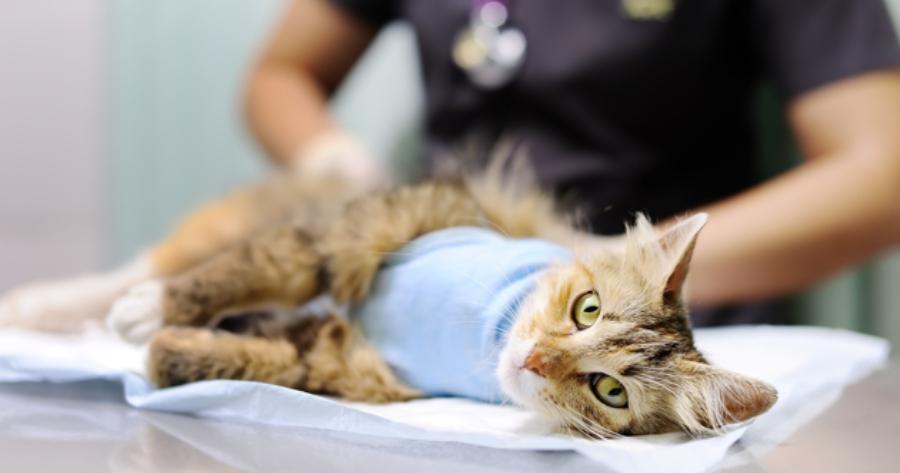 Katze wird sterilisiert
