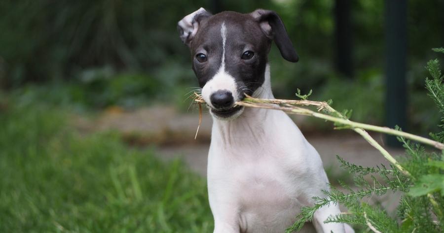 Pflegeleichte Hunde Italienisches Windspiel