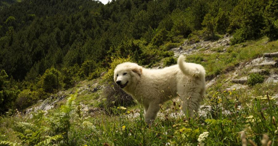 Weißer Griechischer Hirtenhund