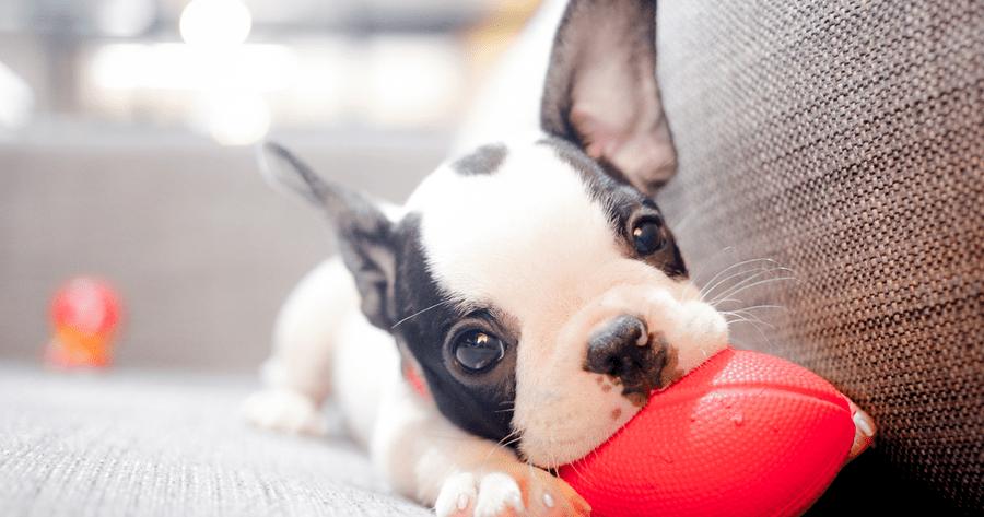 cachorro jugando en casa